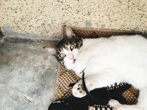 EyeEm Selects Domestic Cat Pets Animal Themes Domestic Animals One Animal Mammal
