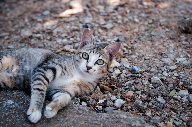 Portrait of cat lying on ground