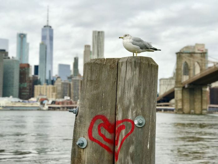 Lone Seagull Hudson River Seagull Brooklyn Bridge  New York City Water One Animal Animals In The Wild Animal Themes Bird Perching Seagull River Day Animal Wildlife Outdoors No People Harbor Nature Wooden Post Built Structure EyeEmNewHere Stories From The City