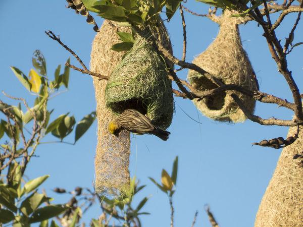 Male Baya Weaverbird building a hanging nest in Thailand Baya Weaver Bird Building Colony Hanging Making Male Nature Nest Weaverbird Weaverbird Nest Wildlife