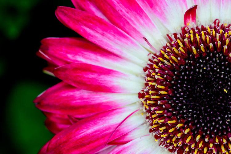 Gebera flower