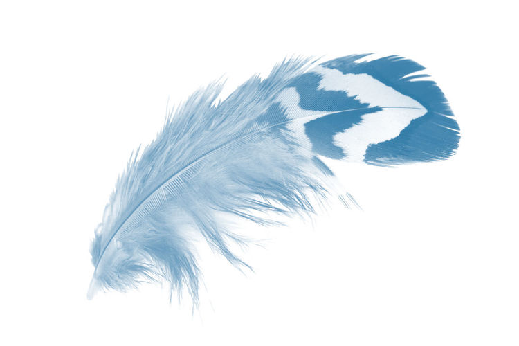 Studio Shot White Background No People Feather  Softness Close-up Still Life Indoors  Nature Lightweight Cut Out Copy Space Vulnerability  Animal Fragility Blue Pattern High Angle View Vertebrate