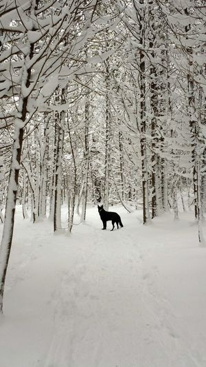 No Filter No Filter, No Edit, Just Photography Ontario, Canada My Winter Favorites Capturing Freedom EyeEm Nature Lover Winterscapes German Shepherd GSD Black German Shepherd Dog Enjoys Snow Winter Wonderland Snow Winterhike Nature On Your Doorstep Wolf Beautiful Dog Nature