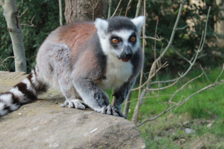 Lemore Tail Madagascar  Monkey Zoo Tail Fin Animals In Captivity