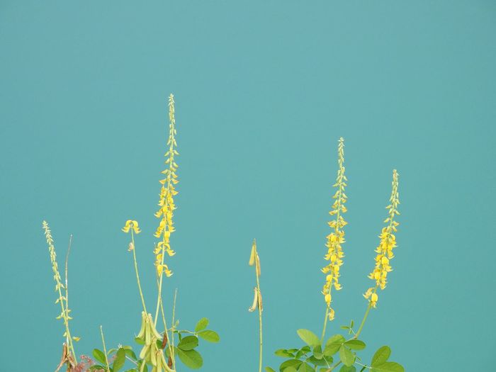 Low angle view of yellow flowers against clear blue sky