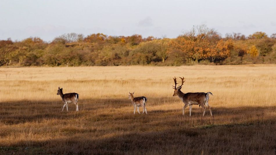 Deer Family Matters In The Field In The Shadows Grass Animals In The Wild Deer Nature Animal Themes No People Clear Sky Field Tree Day Scenics Stag Outdoors Animal Wildlife Mammal Antler Landscape Sky