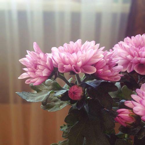 Flowers Chrisanthem Pink