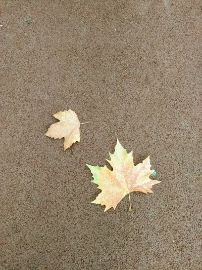 High angle view of maple leaf on land