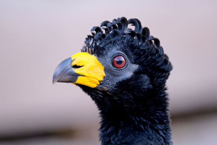 Male Bare-faced Curassow, Crax Fasciolata, is a species of bird in the family Cracidae, Mato Grosso Do Sul, Brazil Animal Bare Bare-faced Faced Curassow Bare-faced Curassow Crax Fasciolata Crax Fasciolata Pantanal Bird Wildlife Close-up Closeup Close Up Portrait Mato Grosso Animal Themes Animal Wildlife Brazil Nature Fauna Black Yellow Male