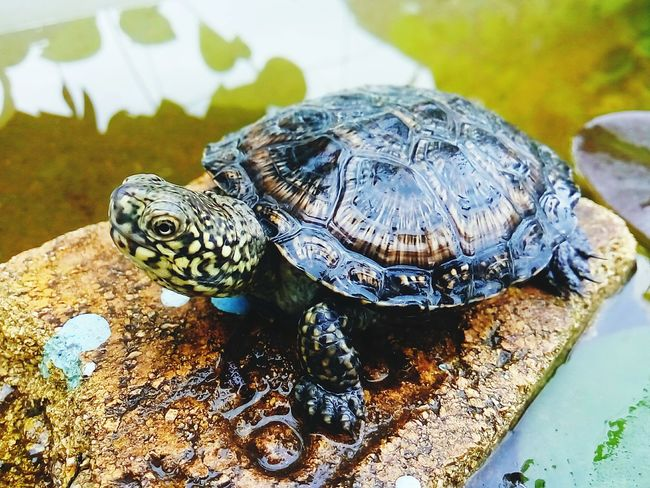 Reptile Animals In The Wild Animal Themes Tortoise Shell Tortoise Animal Wildlife Turtle Full Length Water One Animal Outdoors Nature No People Day Shield
