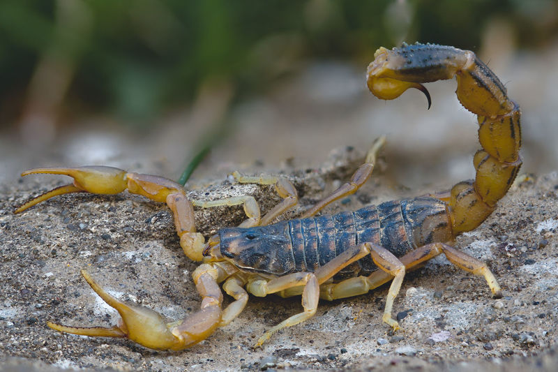 Scorpion Animal Themes Animal Animal Wildlife Animals In The Wild One Animal Close-up Nature Day No People Focus On Foreground Invertebrate Crab Zoology Land Outdoors Insect Animal Body Part Claw Scorpion