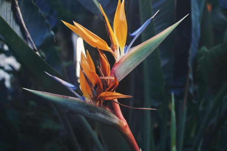 Flower Head Flower Close-up Nature Plant Growth Outdoors Leaf Botanic Tropical Tropical Plants Tropical Flower Red Orange