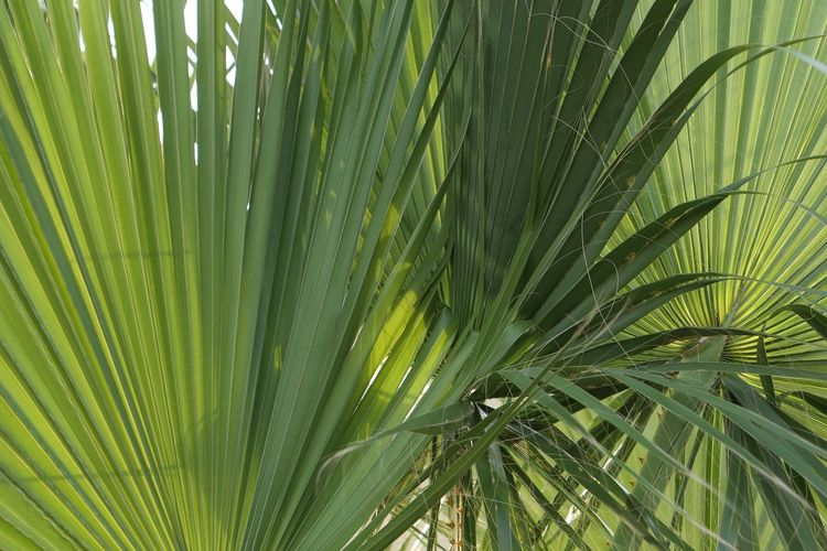 Green Color Growth Plant Palm Tree Leaf Palm Leaf Close-up Beauty In Nature No People Tropical Climate Plant Part Nature Backgrounds Tree Full Frame Outdoors Natural Pattern Freshness