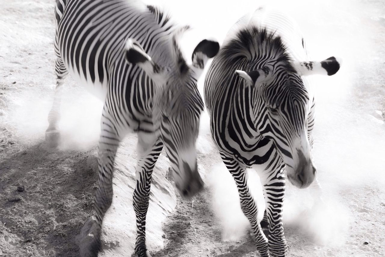 Two Walking Zebras