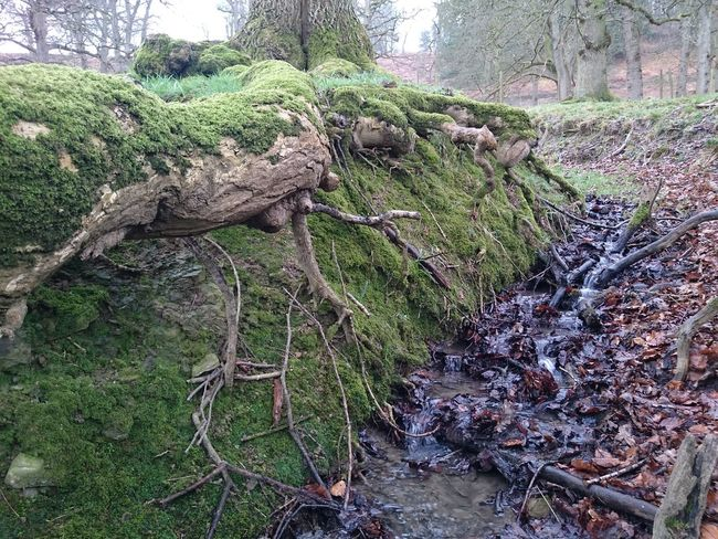 No Filter, No Edit, Just Photography Brook Small Stream Fresh Water Years And Years Moss Mossporn Roots Of Tree Roots Taking Photos Nature_collection Worn Away Tree Lined Twist And Turns Branches Oak Leaves Oak Tree