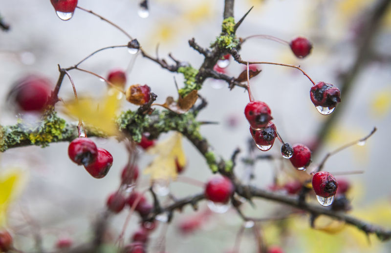 Hawthorn with hanging dew drops in the dense fog, Selective focus Beauty In Nature Close-up Day Focus On Foreground Food And Drink Fragility Freshness Fruit Growth Nature No People Outdoors Rose Hip Tree