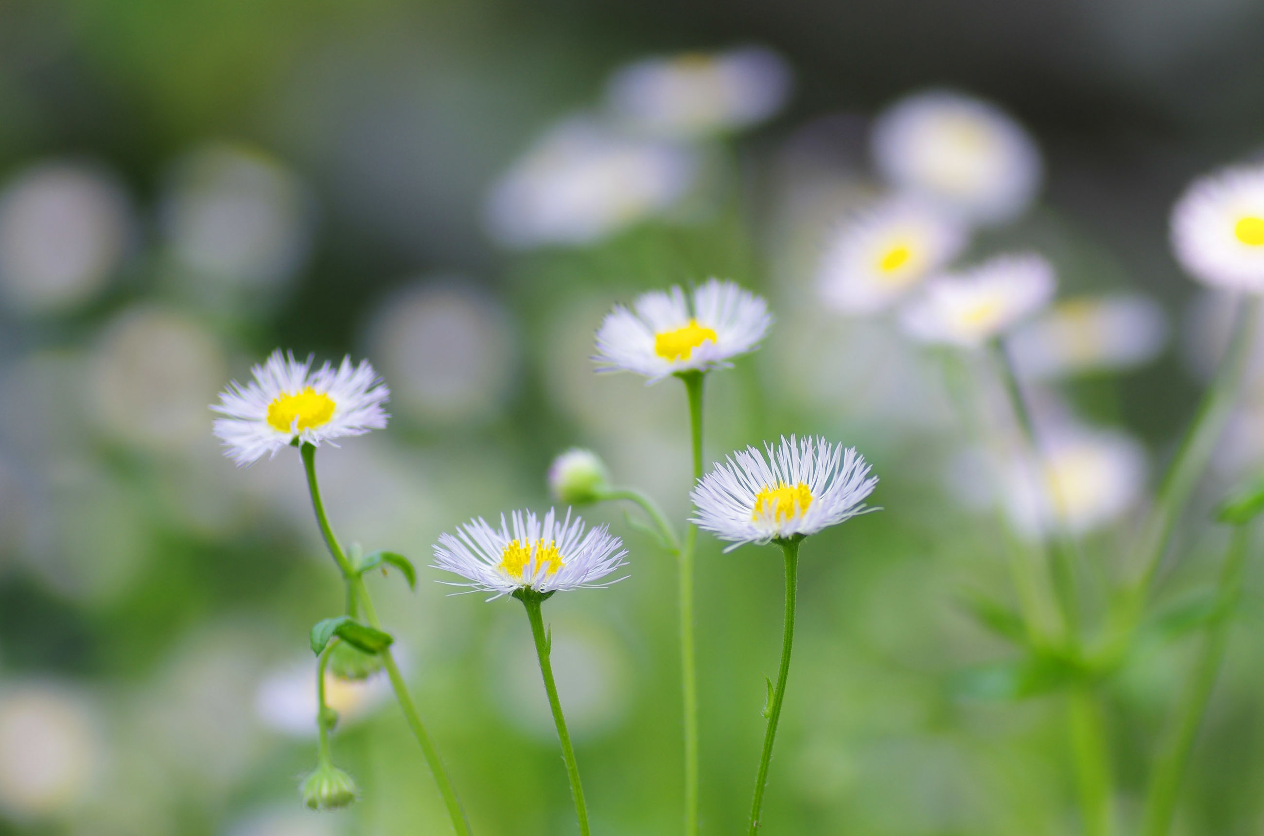 flower, freshness, fragility, daisy, growth, petal, white color, flower head, beauty in nature, focus on foreground, nature, yellow, close-up, blooming, plant, stem, selective focus, pollen, field, wildflower