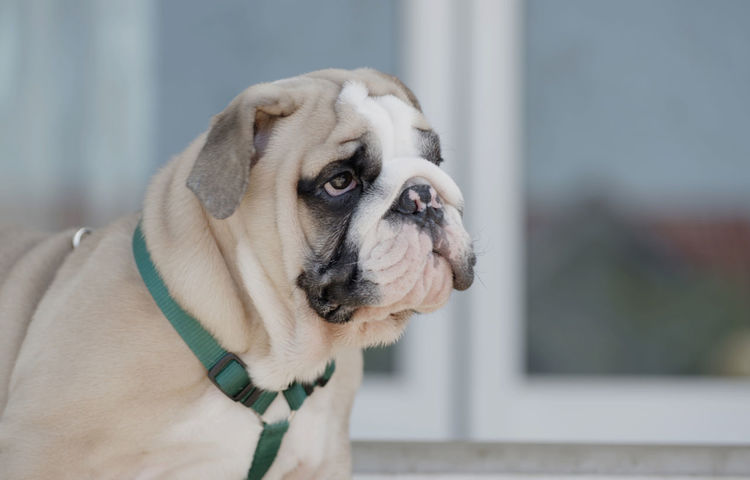 English bulldog puppy : Puppy English Bulldog Bulldog Dog Canine One Animal Pets Domestic Domestic Animals Mammal Animal Themes Animal Focus On Foreground Looking Away Looking Close-up Vertebrate No People Collar Day Pet Collar Animal Body Part Pug Animal Head