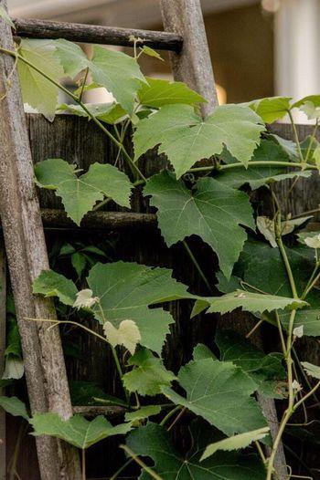 Vine Ladder Garden