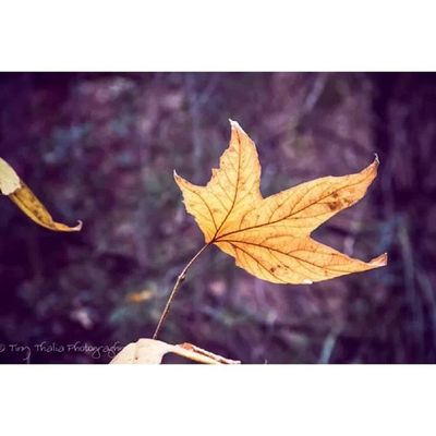Last remnants of autumn. Tinythaliaphotography Fstopandstare Photography Fall autumn leaves wintersoltice nature
