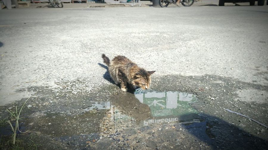 Lunch time Cats Lick The Water Puddles Cat Licking Rain Drops Licking Cat Licking Paddle Animal Themes One Animal Mammal Domestic Animals Pets Day High Angle View