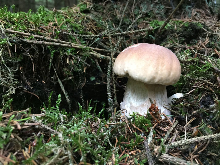Green Beauty In Nature Boletus Close-up Edible Mushroom Food Food And Drink Forest Freshness Fungus Ground Growth Land Moss Mushroom Nature Plant Toadstool Vegetable Wild
