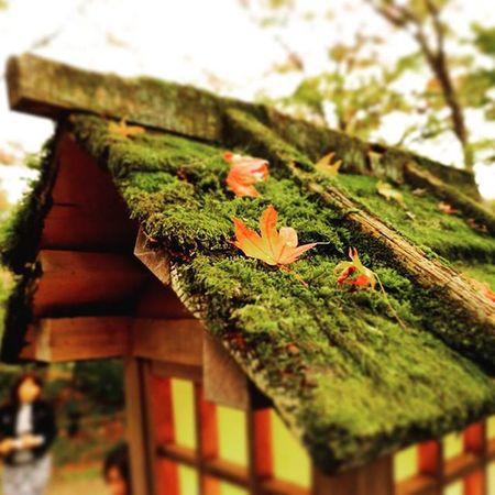 \( *´◇`* )/🍁 苔!! 好きだ!! . Travelgram 常寂光寺 Kyoto Japan 😚 😚 もみじ 紅葉 紅葉狩り Red Yellow 嵐山 嵯峨野 京都 Moss 苔 ColorsOfAutumn Fall Autumn Autumnlove