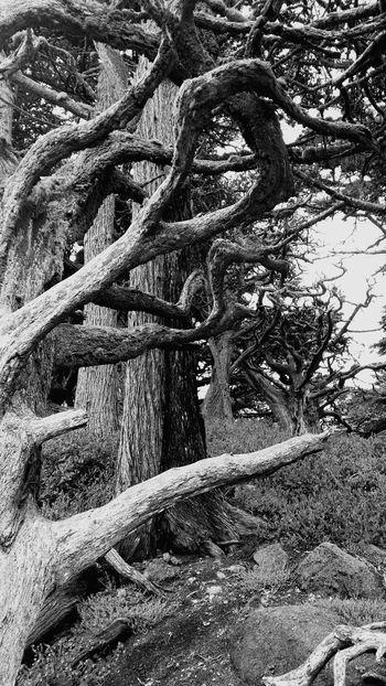 Coast Big Sur CALIFORNIA Tree Branches Nature Point Lobos Black & White