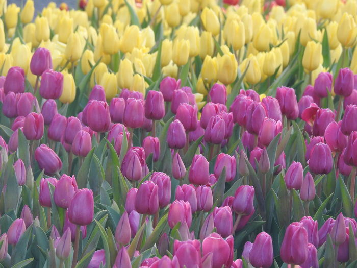 Flowering Plant Flower Beauty In Nature Vulnerability  Plant Fragility Freshness Tulip Backgrounds Petal Full Frame Close-up Yellow Pink Color Flower Head Growth Inflorescence No People Abundance Nature Purple Outdoors Flowerbed