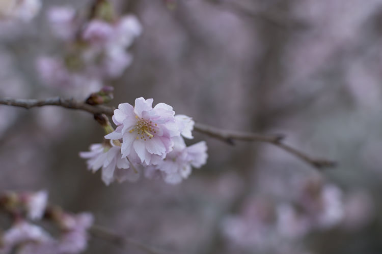 Soft pink flowers Beauty In Nature Blossom Branch Cherry Blossom Close-up EyeEmNewHere Flower Flower Head Flowers Fragility Freshness Growth Macro Macro Beauty Macro Photography Nature Outdoors Pastel Colors Petal Pink Color Springtime Tree Twig
