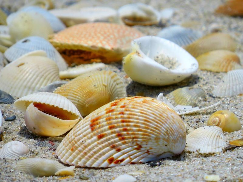Animal Themes Beach Close-up Day Florida Nature No People Outdoors Sandy Beach Sea Life Seashell Shells