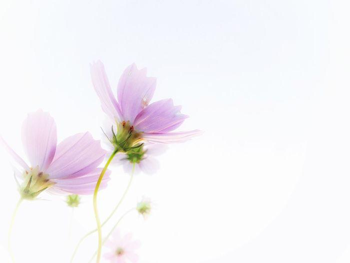 人に優しく…なりたいね Flower Freshness Fragility Petal Flower Head Beauty In Nature Stem Growth Purple Close-up Nature Springtime Blossom Selective Focus In Bloom Pink Color Single Flower Outdoors Botany Bloom コスモスの日 IPhoneography EyeEmBestPics Beautiful Day From My Point Of View