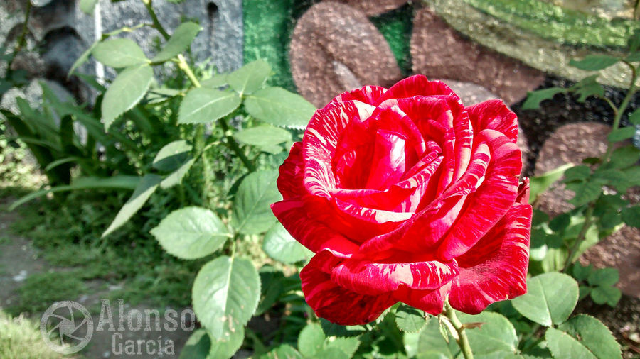 Siempre habrá rosas Flower Red Nature Petal Plant Beauty In Nature Fragility Flower Head Day No People Close-up Water Rose - Flower Freshness