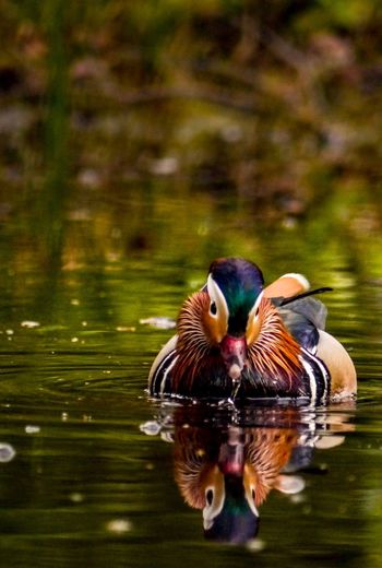 A vivid Mandarin Duck. Water Lake Mandarin Duck Animal Themes Animals In The Wild Duck Bird Waterfront Swimming Reflection Nature No People One Animal Day Beauty In Nature Outdoors Devon Beauty In Nature EyeEmNewHere Nature
