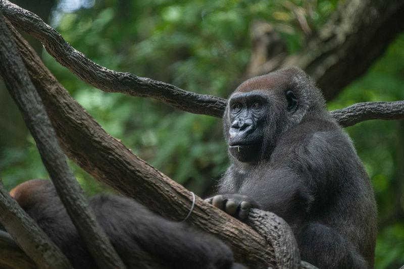 Portrait of gorilla sitting on tree