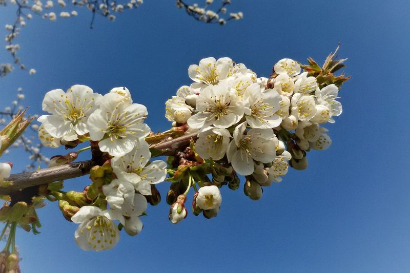 Kirschblüte / cherry blossom EyeEm Nature Lover Nature Photography Close-up Close Up Flowers, Nature And Beauty Flower Head Branch Clear Sky Springtime Blue Blossom Petal Cherry Blossom In Bloom Blooming Cherry Tree Pollen