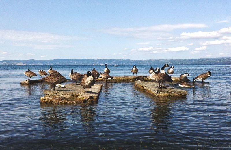 Canada geese on rocks amidst sea against sky