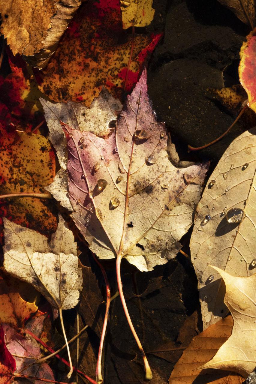 HIGH ANGLE VIEW OF DRY MAPLE LEAF ON WATER