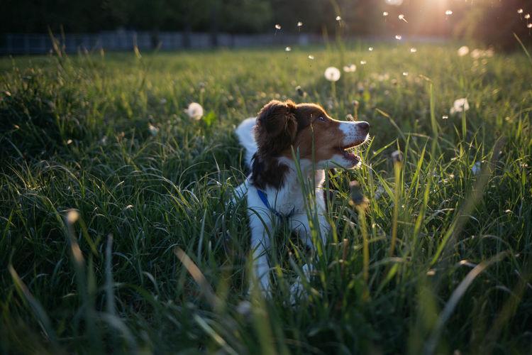 Dog lying on grass in field