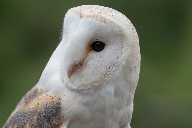 Head shot of a barn owl with a green background