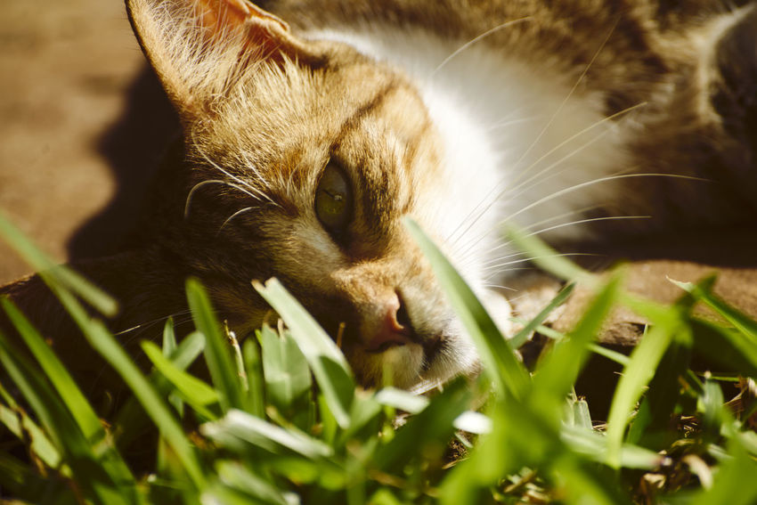 Animal Head  Animal Themes Cat Close-up Day Domestic Animals Domestic Cat Feline Grass Mammal Nature No People One Animal Outdoors Pets Portrait Relaxation Whisker Pet Portraits