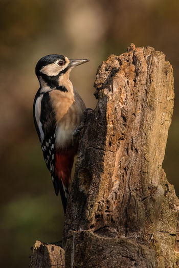 Woodpecker Wildlife & Nature Wildlife Photography Pictureoftheday Picchio Rosso Sunset Sun Light