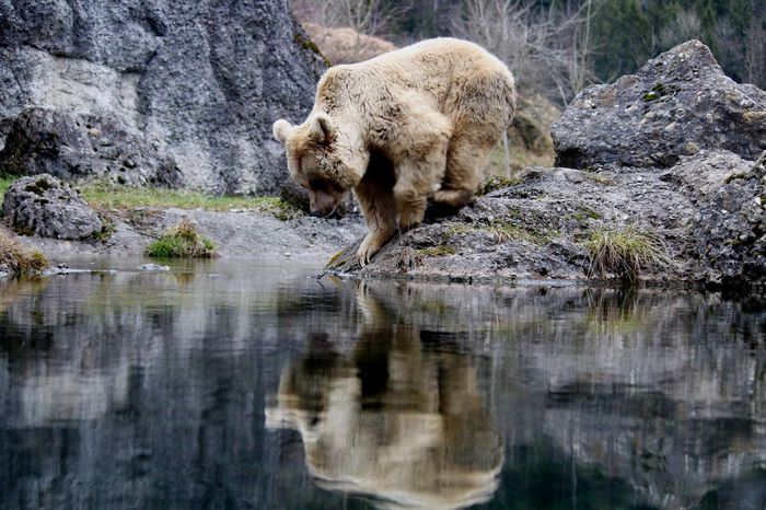 philosopher bear Switzerland Tierpark Goldau EyeEmNewHere Brownbear Young Animal Rock - Object One Animal Animal Wildlife Bear Animal Mammal Reflection Water Animal Themes Outdoors Nature Day Shades Of Winter An Eye For Travel The Great Outdoors - 2018 EyeEm Awards