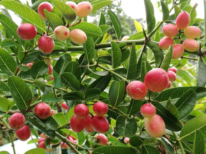 Bengal currents Fruit Growth Food And Drink Nature Freshness Tree Day Green Color Outdoors No People Healthy Eating Food Beauty In Nature Close-up Branch Leaf