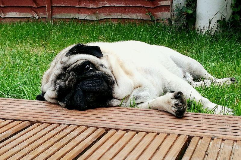 Dog Pets Outdoors Dog Life Doglife Doglover Pug Life  Puglove  Pugs Pug Pug Time Dog Photography Grass