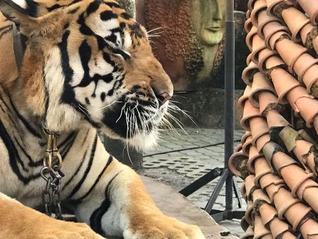 Tiger Tiger EyeEm Gallery EyeEm Nature Lover EyeEmNewHere EyeEm Best Shots Animal Themes Animal Feline Tiger One Animal Mammal Day Big Cat Animal Wildlife No People Looking Close-up Nature This Is Strength EyeEmNewHere