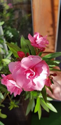No People Outdoor Photography Oleander Blossom Flower Head Flower Pink Color Petal Close-up Plant Plant Life In Bloom