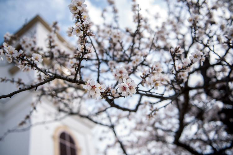 Flowering Plant Plant Flower Freshness Fragility Tree Blossom Cherry Blossom Growth Branch Nature Springtime Cherry Tree No People Outdoors Almond Tree Almond Blossom Blooming Vulnerability  Low Angle View Beauty In Nature Building Exterior Day Focus On Foreground Close-up White Color Havihegy Pécs