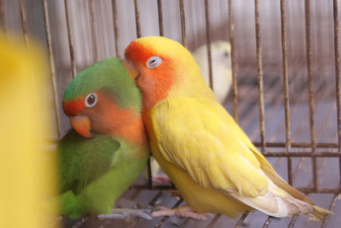 Love Birds Animal Themes Animals In The Wild Beauty In Nature Bird Cage Can't Live Without Love Birds ❤️❤️❤️❤️ No People Parrot Togetherness Two Animals Yellow