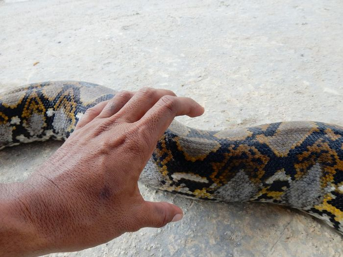 Snake Python Real People Human Hand Leisure Activity Lifestyles Sunlight One Person One Animal Day Outdoors Human Body Part Close-up Men Reptile Animals In The Wild Nature Low Section
